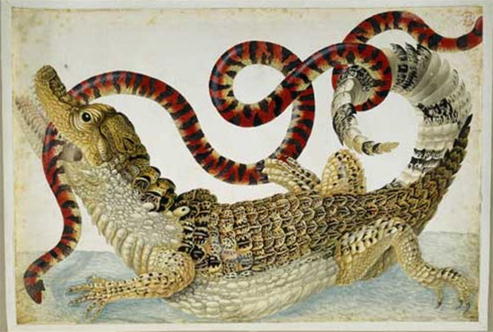 illustration from the 1600s by Maria Sibylla Merian